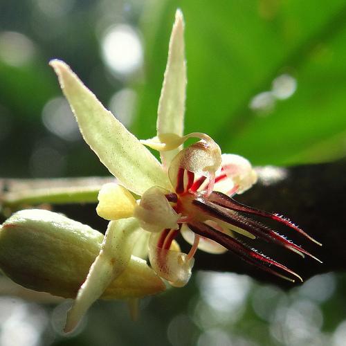 kwiat kakao