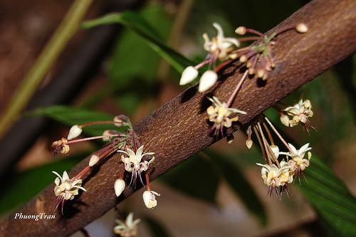 Kwiaty kakaowca