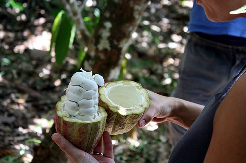 otwarty owoc kakao